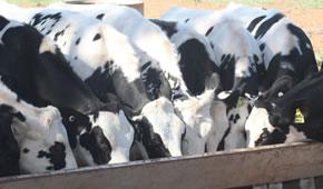 Veanavite > Rearing Guide > Calves