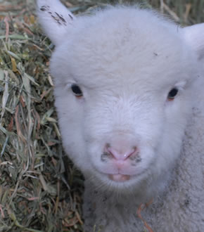 Veanavite > Rearing Guide > Lambs & Goat Kids